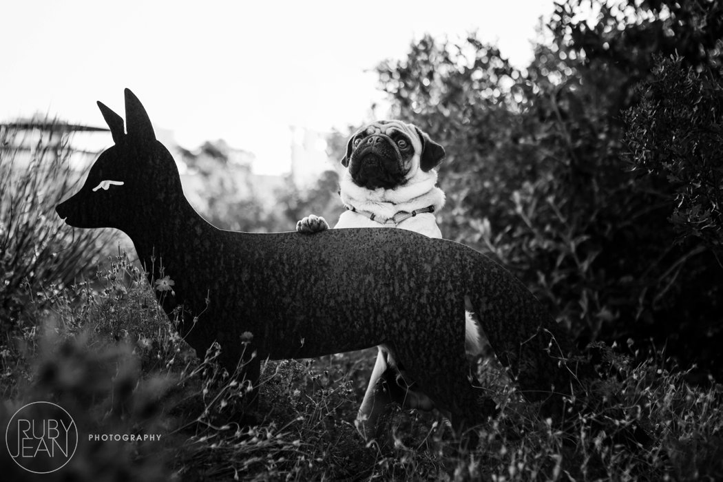 rubyjean-pug_dog_photography-kenny-037
