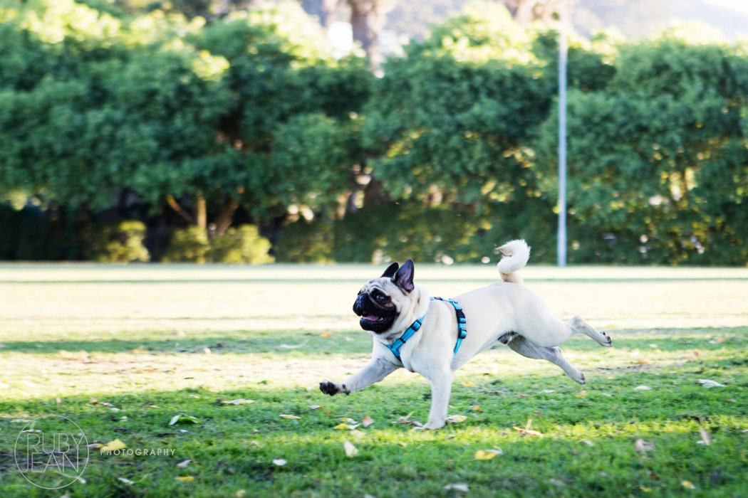 rubyjean-pug_dog_photography-kenny-049