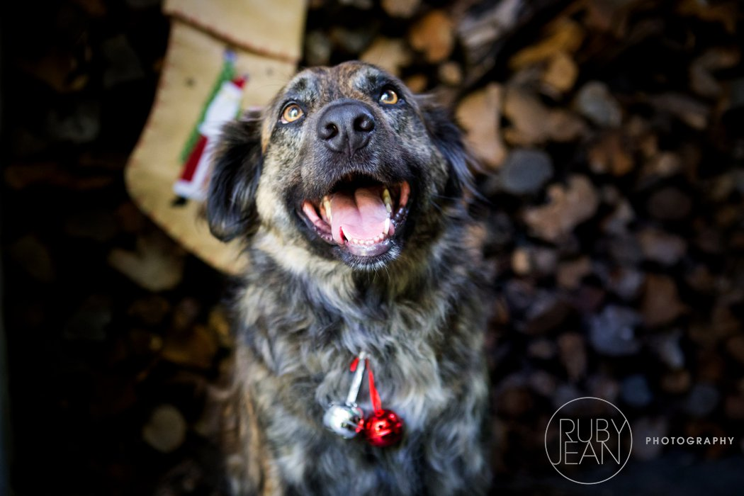 rubyjean_photography_christmas-pet_portraits-teddy-061