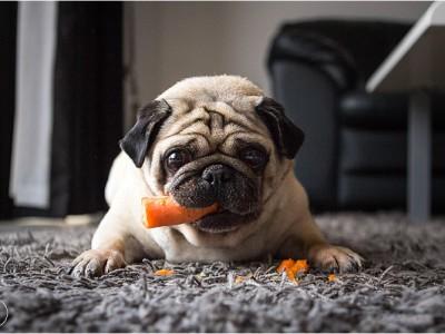 Pug Shots - Mr Kipp