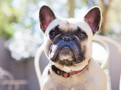 French Bulldog Pet Photography