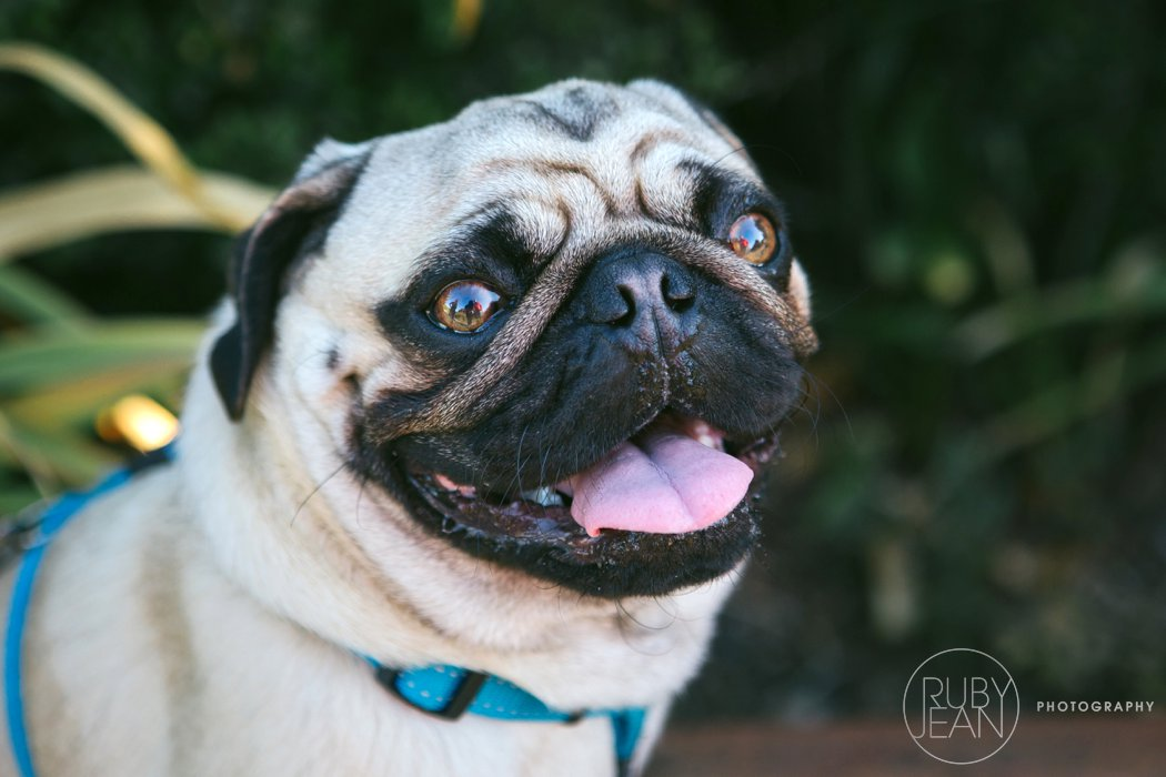 rubyjean-pug_dog_photography-kenny-001