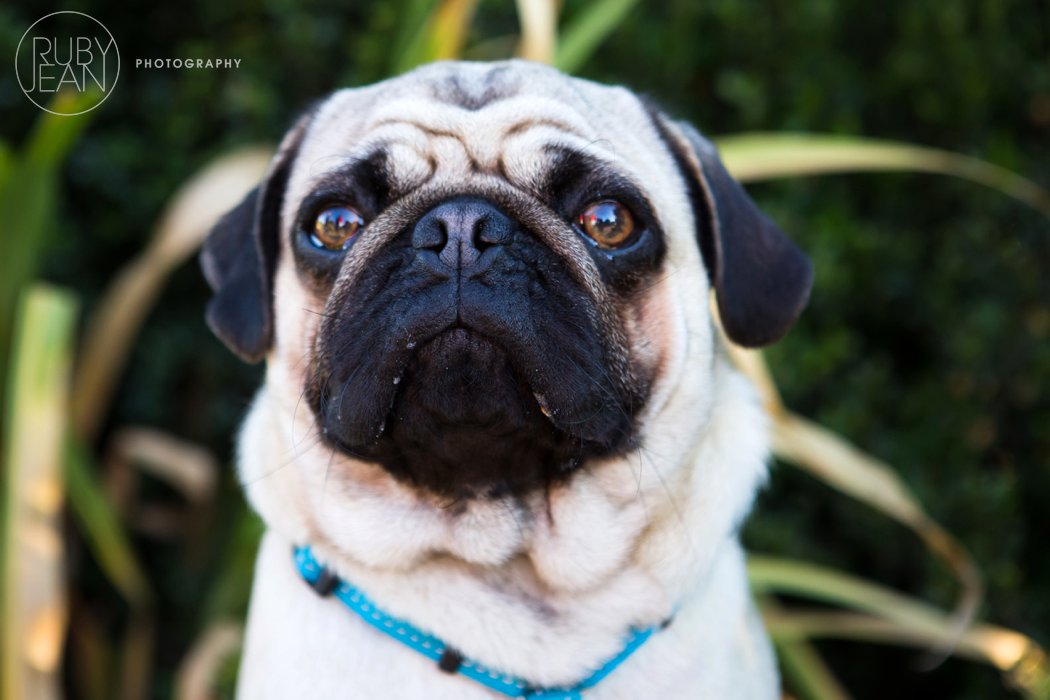 rubyjean-pug_dog_photography-kenny-007