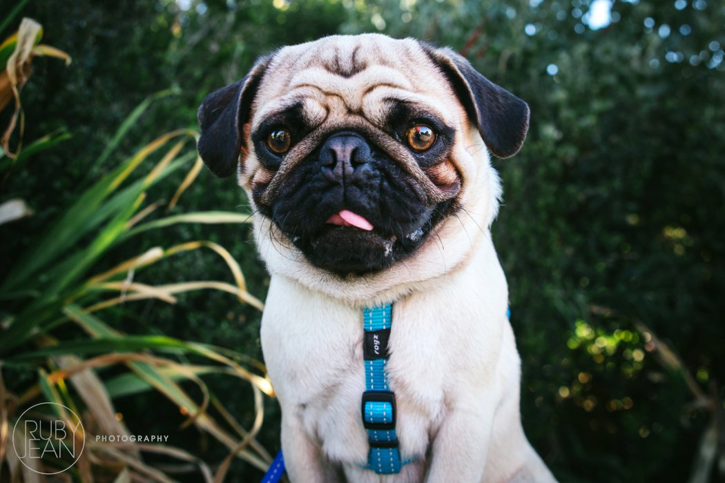 rubyjean-pug_dog_photography-kenny-011