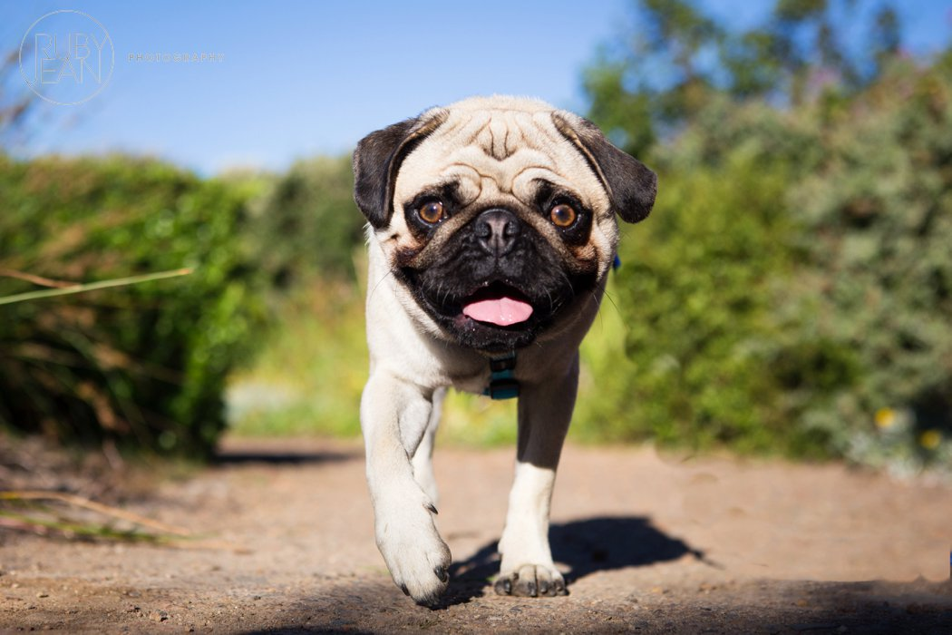 rubyjean-pug_dog_photography-kenny-020