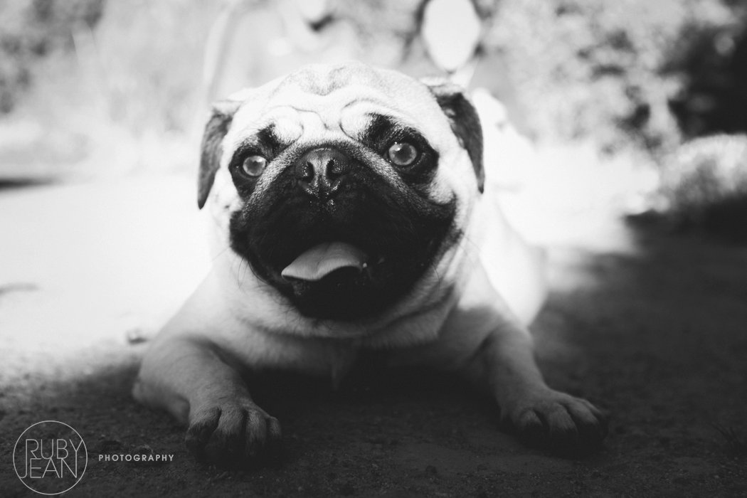 rubyjean-pug_dog_photography-kenny-031
