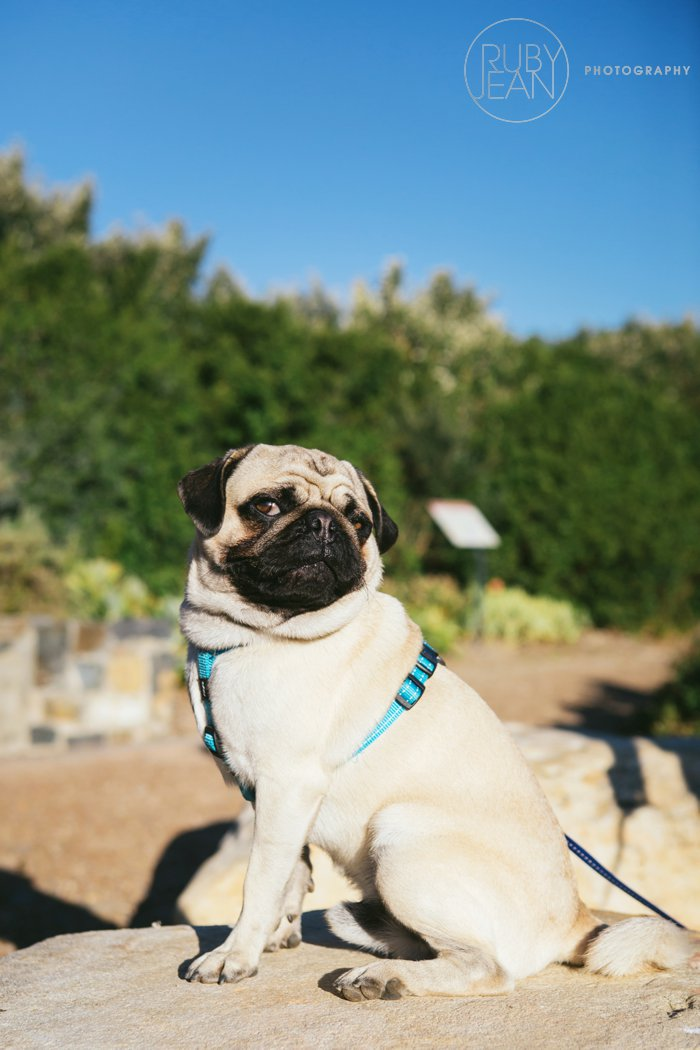 rubyjean-pug_dog_photography-kenny-034