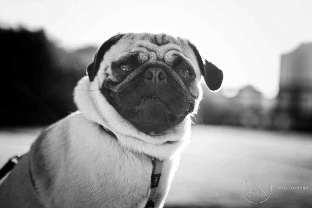 rubyjean-pug_dog_photography-kenny-035