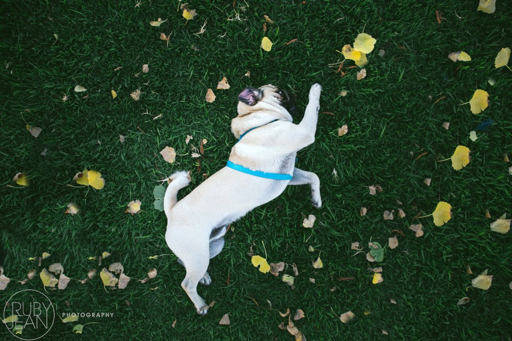 rubyjean-pug_dog_photography-kenny-053