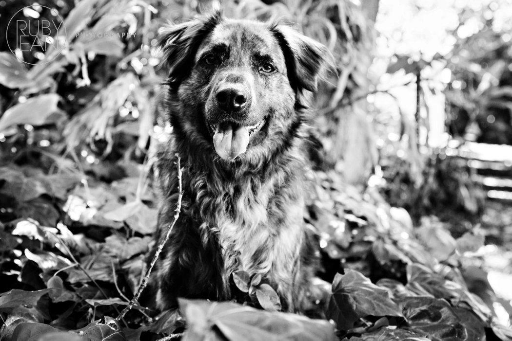 rubyjean_photography_christmas-pet_portraits-teddy-025