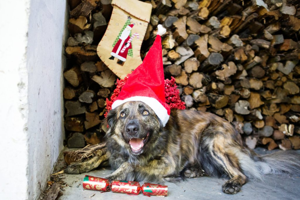 rubyjean_photography_christmas-pet_portraits-teddy-072