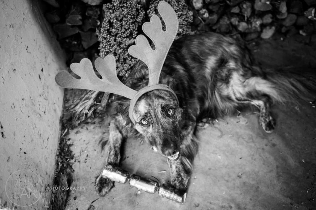 rubyjean_photography_christmas-pet_portraits-teddy-076