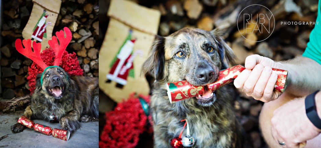 rubyjean_photography_christmas-pet_portraits-teddy-077